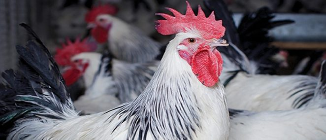 Home - Poultry Research Centre
